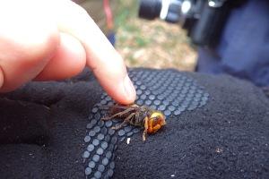 おおっと!コガタスズメバチの越冬個体が! 夏は怖くて触れませんが、温度が低くて動けませんので、恐る恐るタッチ。 ※体温が上がると動き出しますので、指導者がいないときは絶対に触らないように。